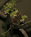 Indian flying fox (Pteropus giganteus) feeding on Kapok (Ceiba pentandra) at night in Kolkata W IMG 3851.jpg
