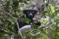 Indri in Andasibe 14.JPG