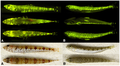 Interspecific variation in fluorescent emission pattern - journal.pone.0083259.g003.png