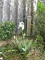 Iris albicans (13611713483).jpg