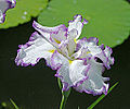Iris ensata 'Arctic Fancy' Flower 2939px.jpg