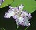 Iris ensata 'Arctic Fancy' Flower 2939px.jpg
