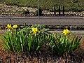Iris lutescens en el talud de la autopista (8716807789).jpg