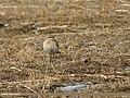 Isabelline Wheatear (Oenanthe isabellina) (33161767194).jpg