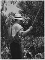Italy. Trieste has received its share of insecticide thanks to Marshall Plan help. Here olive trees, which are... - NARA - 541721.tif