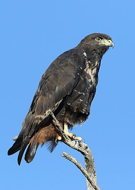 Jackal buzzard, Buteo rufofuscus, at Kgalagadi Transfrontier Park, Northern Cape, South Africa (34291072000).jpg