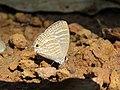 Jamides celeno - Common Cerulean mud puddling at Peravoor (6).jpg