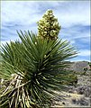 Joshua Tree Bloom, Joshua Tree NP 4-13-13b (8660204049).jpg