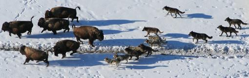 Predation - Wikipedia