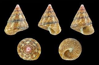<i>Jujubinus exasperatus</i>