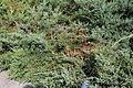 Juniperus 09 05 0296.JPG