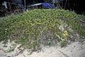 Juniperus horizontalis, Pancake Bay PP.jpg