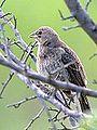 Juvenile Cowbird (7665580902).jpg