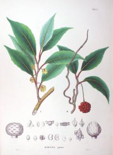 <i>Kadsura japonica</i>