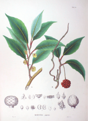 Kadsura japonica, Illustration