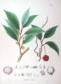 Kadsura japonica SZ17.png