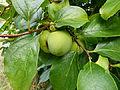 Kakis - Jardin Agronomique Tropical.JPG