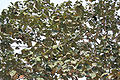 Kanak Champa (Pterospermum acerifolium) leaves in Kolkata W IMG 2935.jpg