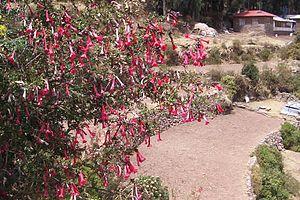 Cantua buxifolia - Cantutas in Taquile Island, Lake Titicaca, Peru.