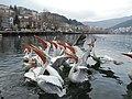 Kastoria pelicans eating.jpg
