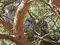 Kattuggla Tawny Owl (14132895224).jpg