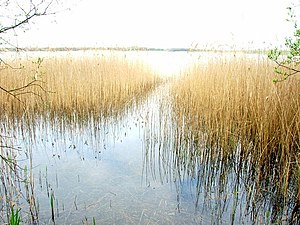Kenfig Pool - Reeds at the southern fringes of the lake supply an important feeding habitat for many birds and other creatures