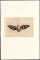 Kerivoula picta - 1890 - Print - Iconographia Zoologica - Special Collections University of Amsterdam - UBA01 IZA1000925.tif