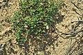 Kewa angrae-pequenae 22214017.jpg