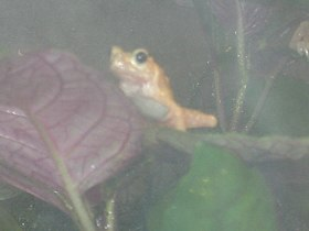 Kihansi Spray Toad1.jpg
