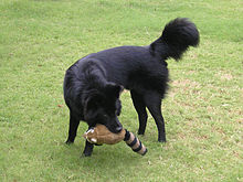 Kintamani dog black.jpg