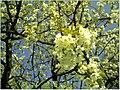 Kirschblüte - panoramio (11).jpg