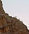Kirthar park hill and goat.jpg