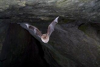 Lesser horseshoe bat - Lesser horseshoe bat in flight