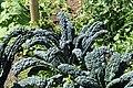 Kluse - Brassica oleracea var. palmifolia - Ostfriesische Palme 07 ies.jpg