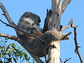 Koala on Phillip Island (500830091).jpg