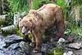 Kodiak brown bear FWS 18392.jpg