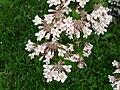 Kolkwitzia amabilis Périgueux rameau.jpg