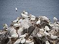 Kolonie Terejů na ostrově Great Saltee.jpg