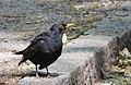 Koltrast Blackbird (14374114709).jpg