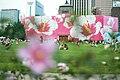 Korea-Seoul-Mugunghwa-01.jpg