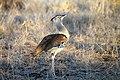 Kori bustard, Kruger National Park (7826687848).jpg