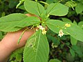 Korina 2014-06-29 Impatiens parviflora.jpg