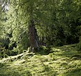 Lärchen Bergwald 4806.jpg