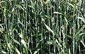 LPCC-617-Plantes de triticale.jpg