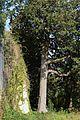 La magnolia - Villa Castagneto-Caracciolo (2017).jpg