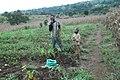 La récolte des arachides.jpg