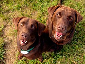Two female chocolate Labrador Retrievers named...