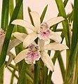 Laelia lundii v coerulea -台南國際蘭展 Taiwan International Orchid Show- (40799686082).jpg