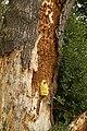 Laetiporus sulphureus (29624741076).jpg