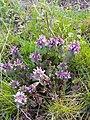 Lamium purpureum 108513875.jpg